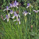 iris missouriensis3