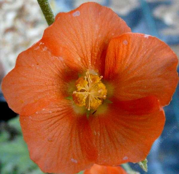 Spharalcea ambigua-product