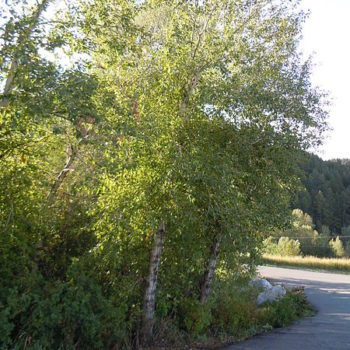 poan3_450px-Populus_angustifolia_×_balsamifera_(5001204699)_