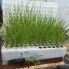 Carex-nebraxcensis