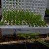 Scirpus-microcarpus