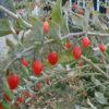 lyba4_Lycium-barbarum-fruits_