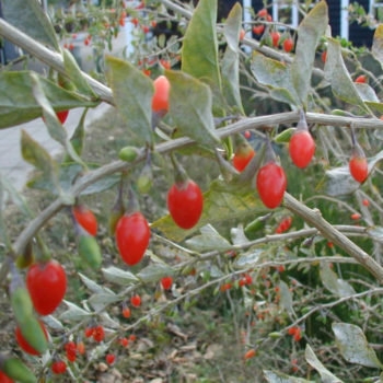lyba4_Lycium-barbarum-fruits_