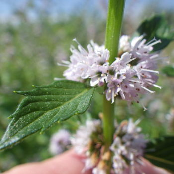 mear4_640px-Mentha_arvensis_(7938046454)_
