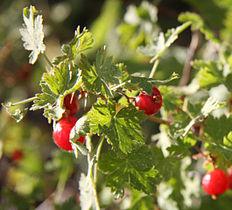 232px-Mountain_gooseberry_Ribes_montigenum_berries