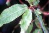 Salix_amygdaloides(01)