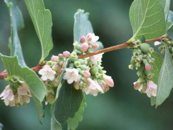 Snowberry-